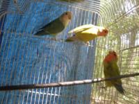 Lovebirds mom/dad/son not pet quality all three for