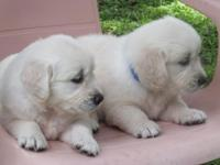 Adorable AKC Golden Retriever puppies born Aug. 28,