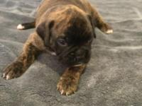 Adorable and so loving little boxer puppies. All of