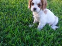 Hi! I'm Paws, an adorable male King Charles Cavalier