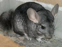 Sweet chinchilla needs a new forever home. She is tame