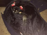 Loving female Pekingese for sale! Her name is Mookie,