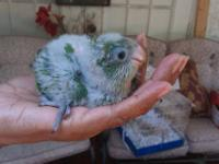 Sweet and loving baby quakers, conures, lovebirds,