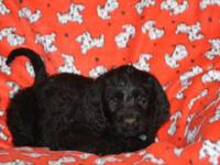 Bear is a 7 week old black labradoodle. Raised in the