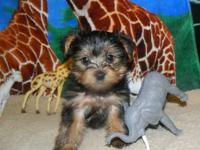 Two Sweet loving Yorkie males $450 each Home raised And