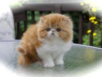 We have 3 beautiful Persian kittens available to loving