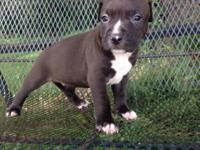 Animal Type: Dogs Breed: Pitbull Hi, I am Molly the