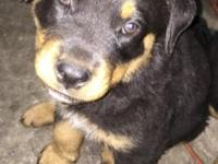 Purebreed Rottweiler pup. Shots done, tail docked.