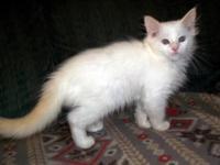 Lovely purebred Ragdoll Kittens. TICA registered. Age