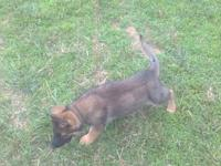 Top Quality AKC German Shepherd puppies ideal for work