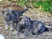These are as High of Quality German Shepherd pups that