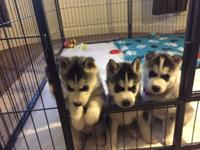 Hello, Siberian Husky puppies very loving and friendly.