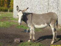 "molly is a very nice heavier built jennet. 51"" tall. 7"