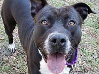 Lua's story Lua is a lovable 2 year old Lab / Terrier