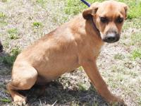 Lubby is a medium sized male Cur, brown and white in