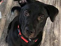 My story He is about a 2 year old lab mix. Hes fixed,