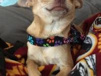 Meet Lucky, she is a 6 months old Chihuahua. Sweet as