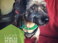 Meet Lucky!  Lucky is a 4-years-old Doxi/Poodle Mix