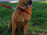Lucky's story LUCKY/ MALE/LAB MIX/BROWN/1 YO Lucky was