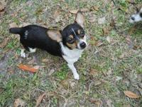 I HAVE A TINY-TOT RAT TERRIER MALE WHO IS A BLACK