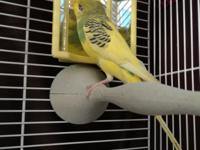 Parakeets in general are very active, playful birds,