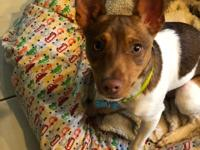 Lucky is a purebred Rat Terrier. He's 6 months old and