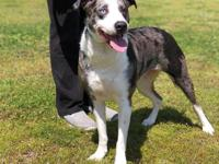 Lucy (2269) is a 1 1/2 year old, female, Aussie mix