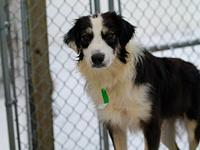 Lucy's story Lucy is a spayed female aussie born in May