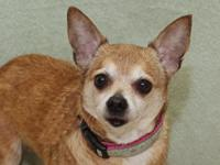 Lucy is an adorable 10-year-old Chihuahua who was