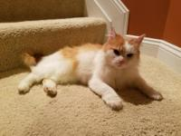 Lucy is a gorgeous four year old orange and white long