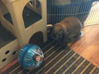 Lucy is an 8 month old English Lop. She is very active,