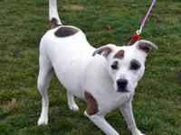 Lucy is a female, 2 year old Lab/Terrier mix who was