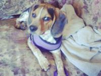 Lucy is a Blue-Tick Beagle pure bread.She is just over