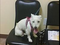 Lucy's story Awesome little Terrier female sweet as she