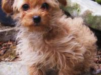 This is a very special mix of Peek a poo and T-cup