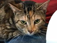 Little Lucy is an 8 month old Calico tabby cat who is