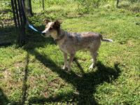 Lulu is a 1 year old female Red Cattle Dog (Heeler)