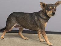 Lulu is a 2-year-old Chihuahua dog. This quiet girl is