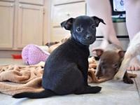 Luna's story Luna is a black chihuahua mix born on