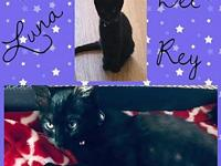 My story LUNA DEL REY - F, DSH, Black, approximately 3
