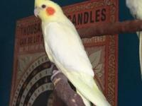 I have a gorgeous clear Lutino Pearl Pied hen that