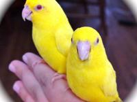 We have one pair of parrotlets for sale that produce