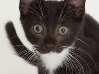 Lyle's story Domestic Shorthair, male, utd on
