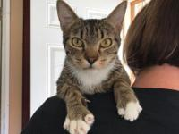 This is Lynx. He is a beautiful 2 yr old tabby and