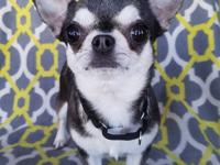 Meet Mabel! Mabel is a 7-8 year old female teacup-type