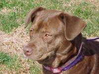 Mabel is a very sweet chocolate lab mix about 3 years