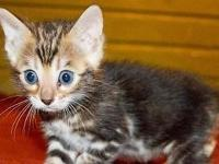 Marble bengal kitten named CHOCOLATE BUNNY 4 sale she