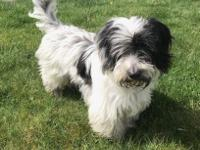 Mac is a  Wonderful 1 year old PBGV that was found as a