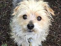 Mac's story * Male Terrier/Miniature Poodle mix *