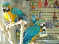 Big and Beautiful Baby Blue and Gold Macaws. Deposit